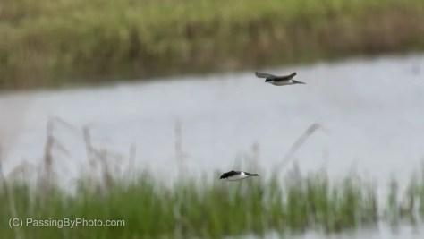 Tree Swallows In Flight