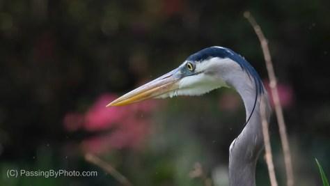Great Blue Heron, Azaleas