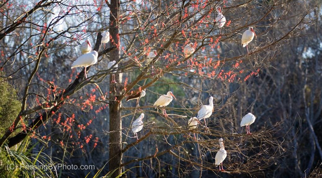 White Ibis in Budding Maple Tree