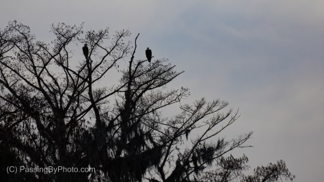 Bald Eagle Pair High in Tree