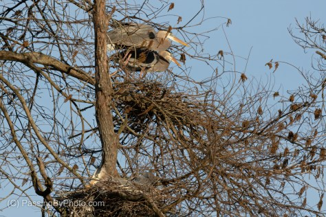 Great Blue Heron Pair on Nest