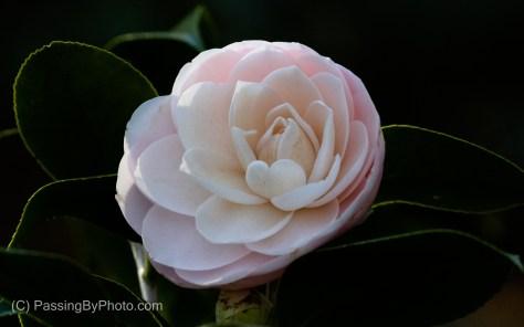 Pink Camellia