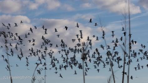 Large Mixed Flock of Wading Birds Takes Flight