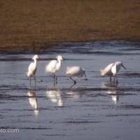 Snowy Egrets, Not Synchronized