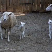Three Little Lambs, 2
