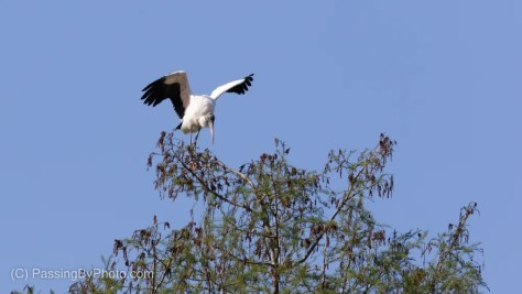 Wood Stork Landing Precariously