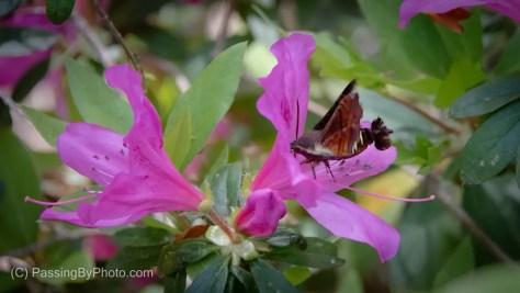 Hummingbird Moth on Pink Azalea