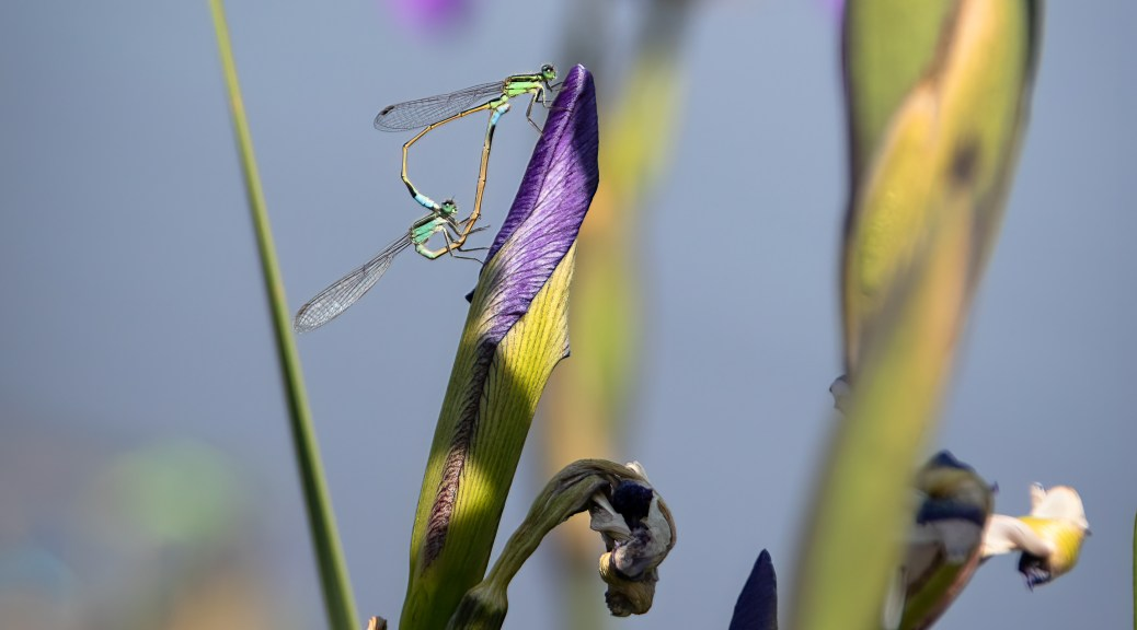 Mating Damselflies on Iris Bud