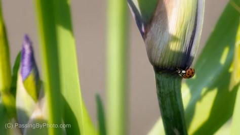 Ladybug on Iris