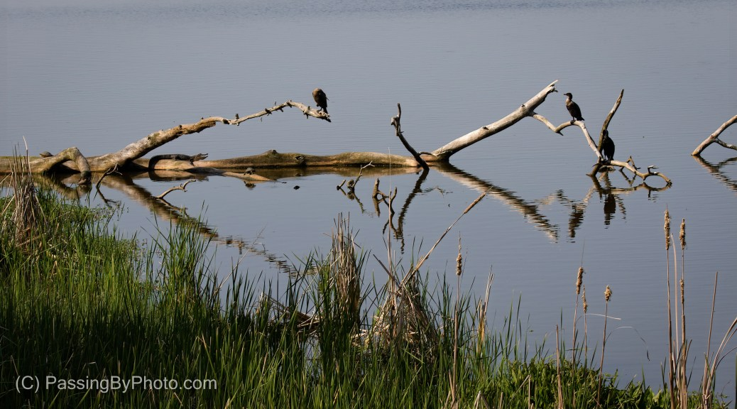 Fallen dead tree with Alligator, Cormorants and Turtles