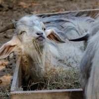 Cashmere Goat, Dinner Time
