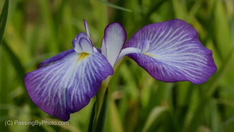 Purple Iris Bloom