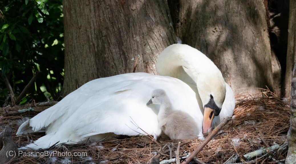 Mute Swan with Two Cygnets