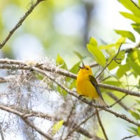 Prothonotary Warbler, Singing