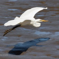 Great Egret, Mud Flaps