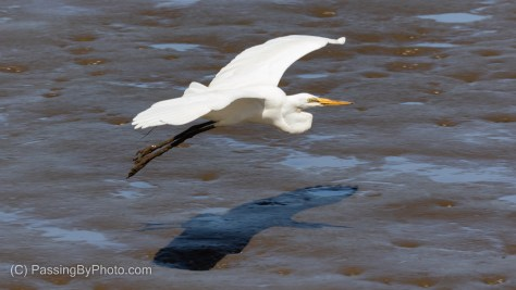 Great Egret Flying With Muddy Legs and Feet