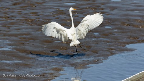 Great Egret Landing With Muddy Legs and Feet