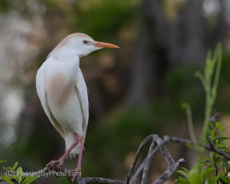 Cattle Egret in Breeding Colors