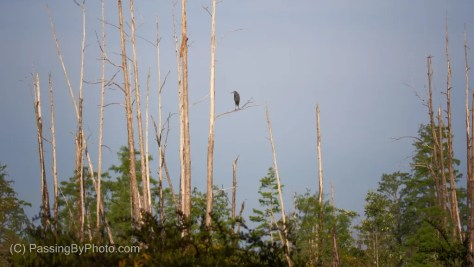 Little Blue Heron in Sand of Dead Trees