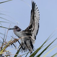 Little Blue Heron, Nesting Material Workout