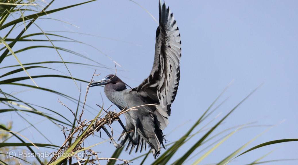 Little Blue Heron Gathering Nesting Material