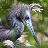 Tricolored Heron Breeding Plumage
