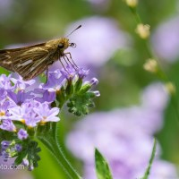 Skipper on Purple Wildflowers
