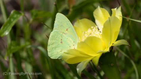 Cloudless Sulphur Butterfly on Yellow Cactus Flower