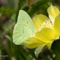Cloudless Sulphur on Yellow Cactus Flower