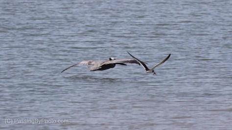 Black Skimmer Flying by Brown Pelican