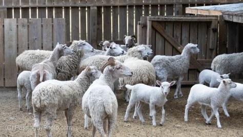 Sheep Waiting Expectantly
