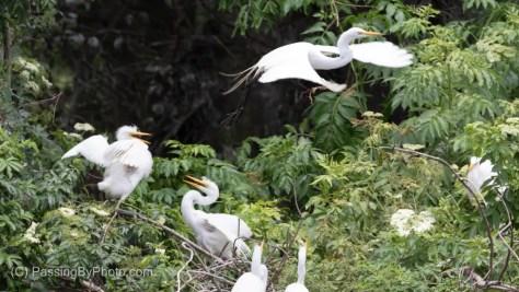 Juvenile Great Egret Chicks