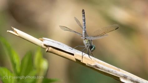 Dragonfly, Obelisk Pose