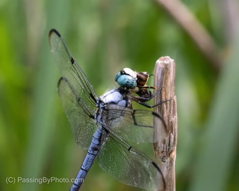 Blue Dasher Eating Insect
