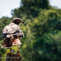 Red-tailed Hawk, Living with One Eye