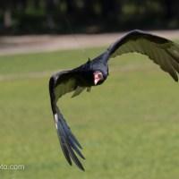 Turkey Vulture, Flying Low
