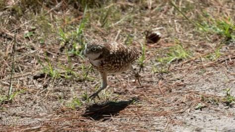 Burrowing Owl, Running