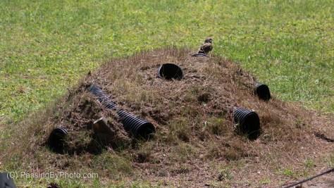 Burrowing Owl Demonstration Mound