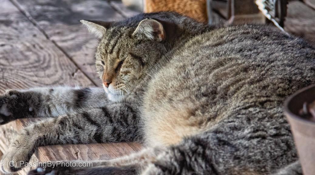 Barnyard Cat Snoozing on Display