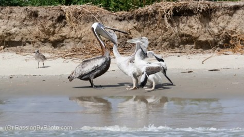 Two Brown Pelican Chicks Getting Fed By Parent