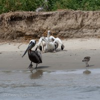 Brown Pelican Chicks On the Beach