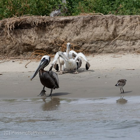 Brown Pelican Adult and Two Chicks