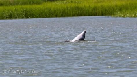 Bottlenose Dolphins Mating