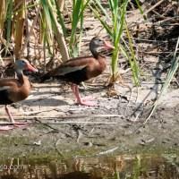 Black-bellied Whistling-Ducks at Pond Edge