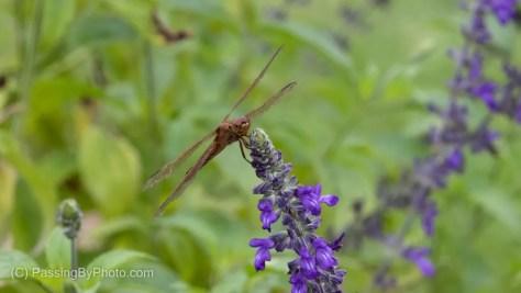 Needham's Skimmer on Salvia