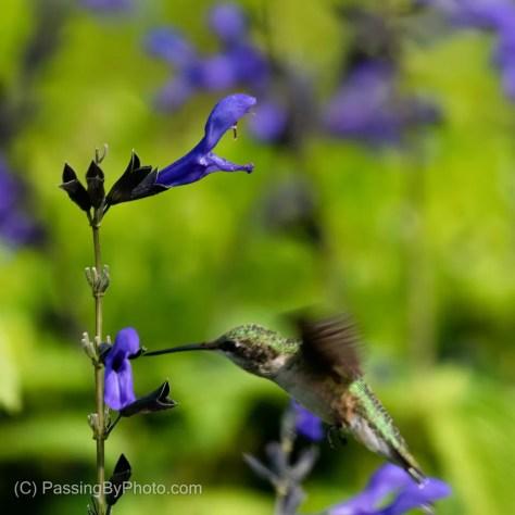 Purple Flower Photobombed by Hummingbird