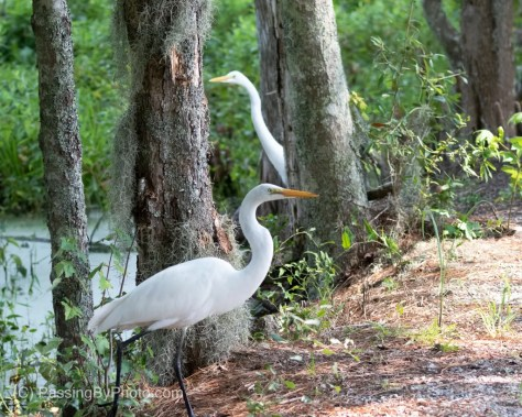 Great Egret Walking Being Watched