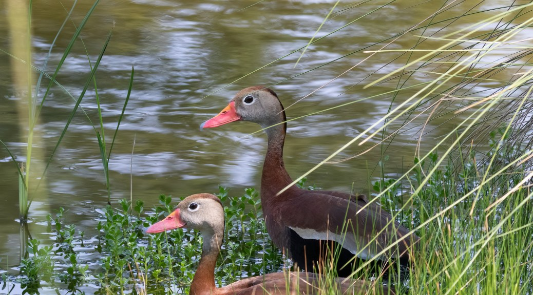 Black-bellied Whistling-Duck Pair