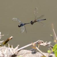 Seaside Dragonlets - Joined Pair
