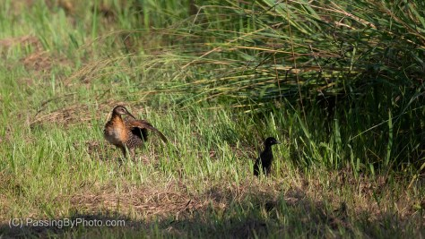 King Rail and Chick
